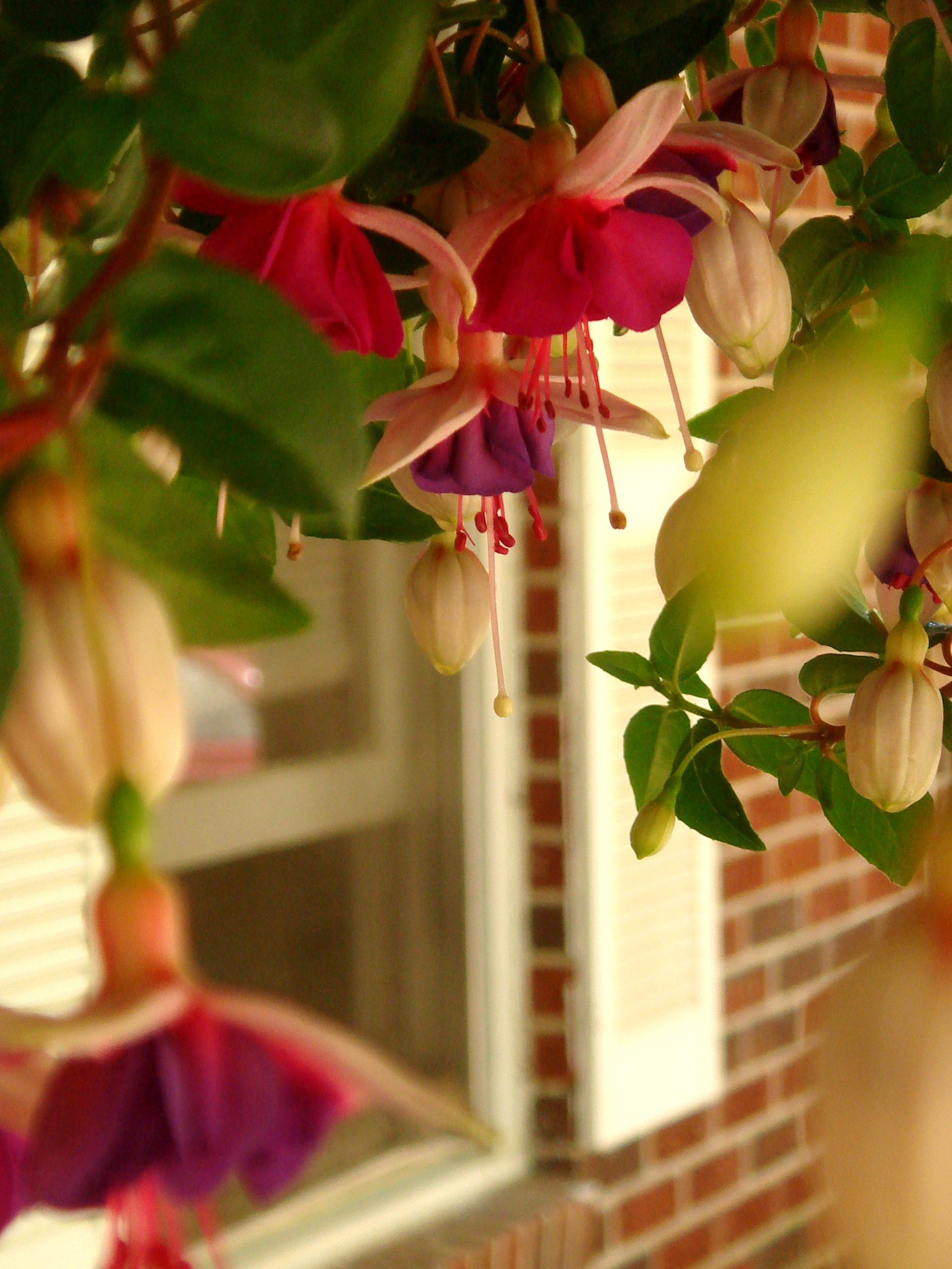 Fuchsia blooming in hanging basket, window.